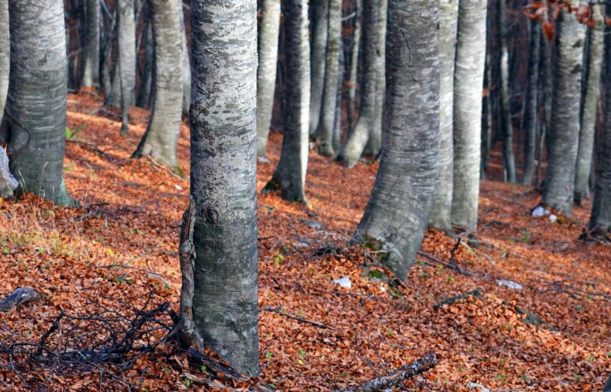 Faggi secolari presenti nel bosco di sant'antonio